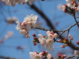 桜のの写真・画像素材[1943204]