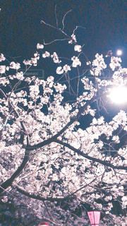 夜の桜でお花見の写真・画像素材[1925091]