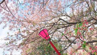 桜満開!の写真・画像素材[1925097]