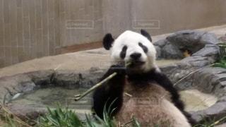 パンダ食事中の写真・画像素材[1931566]
