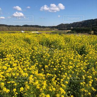一面に広がる菜の花と空の写真・画像素材[2088684]