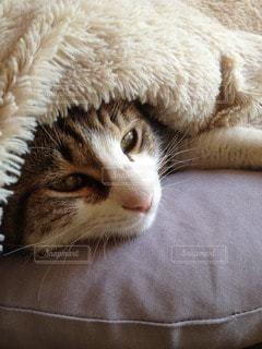 猫の写真・画像素材[71606]