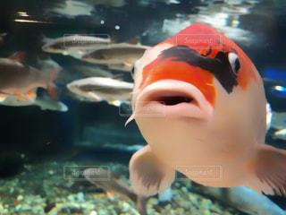 錦鯉の顔の写真・画像素材[2089891]