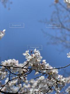 春風と桜の写真・画像素材[1929975]
