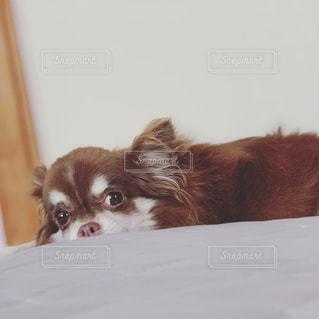 おすまし犬の写真・画像素材[2347047]
