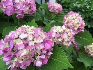 花の写真・画像素材[71897]