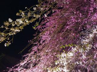 夜桜の写真・画像素材[1950627]