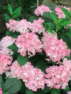 紫陽花の写真・画像素材[1934661]