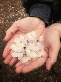 桜の花ですの写真・画像素材[2026160]