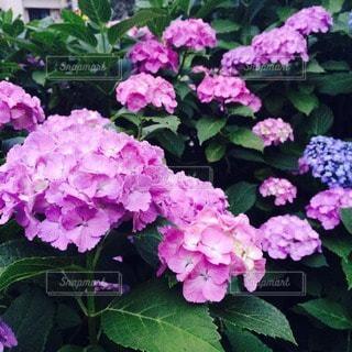 花の写真・画像素材[72157]