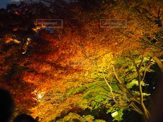 紅葉のライトアップの写真・画像素材[1961769]