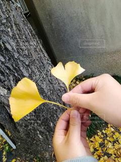 イチョウの写真・画像素材[2101204]