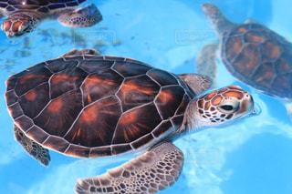 水の下で泳ぐ海亀の写真・画像素材[1935442]