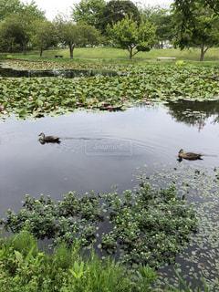 水面の2羽のカモの写真・画像素材[2084170]