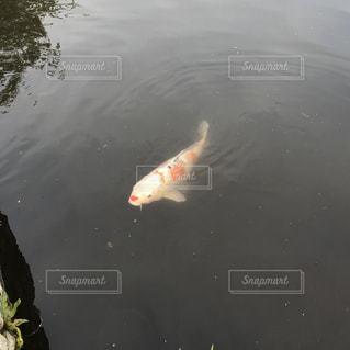 泳ぐコイの写真・画像素材[2084228]