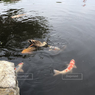 カモと鯉がチュッ!しているように見える?の写真・画像素材[2084229]