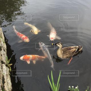 カモと鯉の写真・画像素材[2084235]