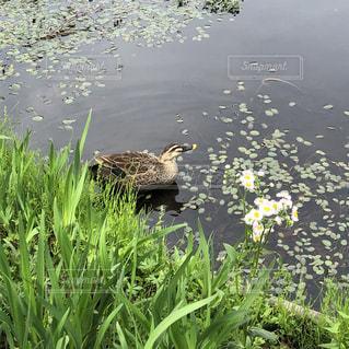 鴨の写真・画像素材[2084316]
