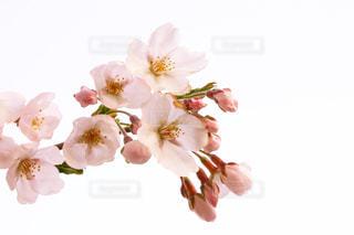 桜の花の写真・画像素材[1968165]