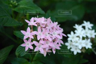 ピンクと白い花の写真・画像素材[1969091]
