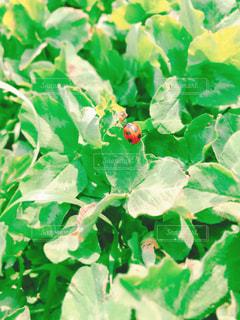 スイカの写真・画像素材[1979473]