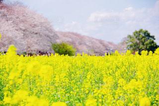 黄色の花の写真・画像素材[1944704]