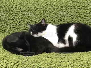 仲良く寝る猫の写真・画像素材[1939642]