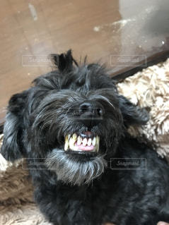 犬も歯が命の写真・画像素材[1971006]