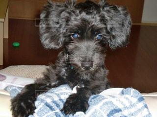 ソファに乗りかかる子犬の写真・画像素材[2287068]