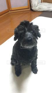カメラを見ている小さな黒い犬の写真・画像素材[3168287]