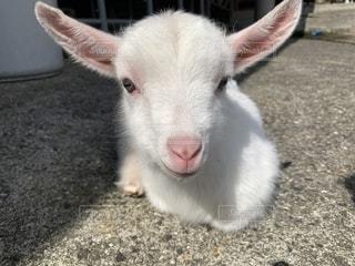 子羊の眼差しの写真・画像素材[1955739]