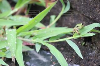 枝の上に座っているカエルの写真・画像素材[2289984]