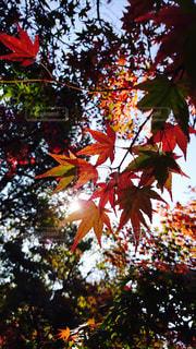 秋のもみじの写真・画像素材[1963662]