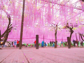 藤祭りの写真・画像素材[2245814]