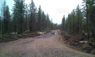 トナカイの散歩 レヴィの風景 フィンランドの写真・画像素材[1980443]