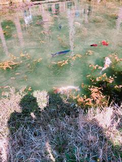 モネの池の写真・画像素材[2021608]