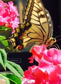アゲハ蝶の写真・画像素材[1949159]