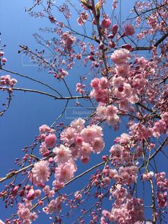 桜シャワーの写真・画像素材[1948731]