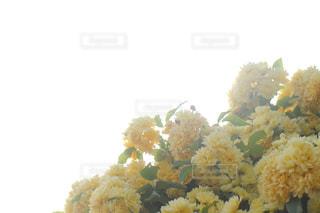 モッコウバラの写真・画像素材[2095864]
