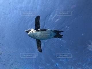 そういえばペンギンて、鳥だった。泳いでる姿は飛行機のよう。の写真・画像素材[1953672]