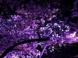 紫に光る桜🌸の写真・画像素材[1953357]