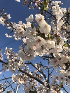 桜と青空の写真・画像素材[1962813]