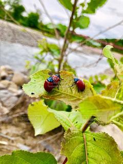 てんとう虫の写真・画像素材[1954837]