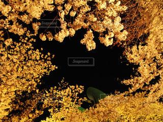 黄金の桜の写真・画像素材[2284003]