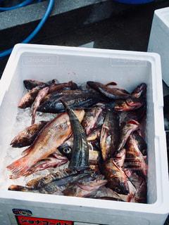 海で取れた魚たち🐟の写真・画像素材[2336237]