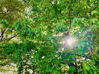 フォレスト内のツリーの写真・画像素材[2079980]