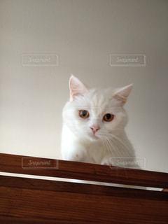 白猫の写真・画像素材[1999939]