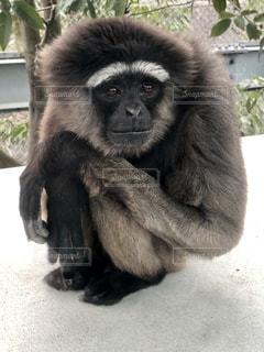 猿の写真・画像素材[2070096]