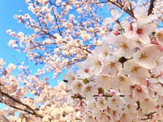 桜の写真・画像素材[1960687]
