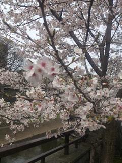 熊本城 桜の写真・画像素材[1960511]